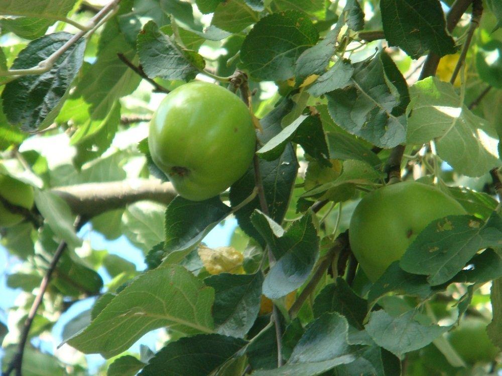 Яблоня лесная – описание дерева, фото и видео