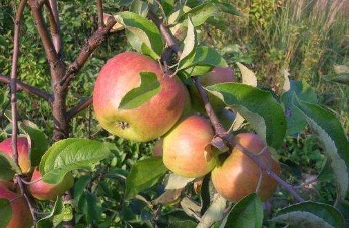 Яблоня садовая – описание дерева, фото и видео