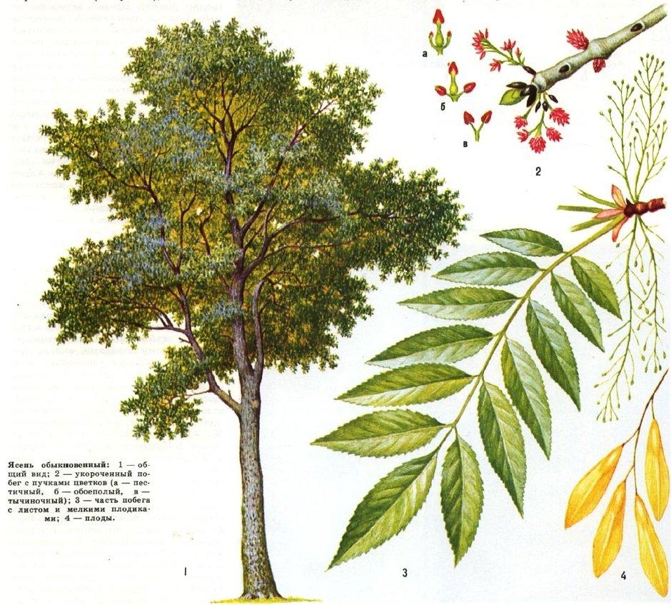 Ясень – описание дерева, фото и видео