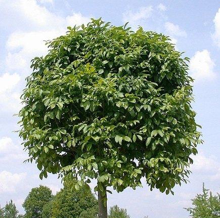 Ясень обыкновенный – описание дерева, фото и видео