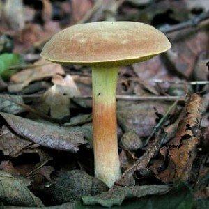 Моховик гриб болотный