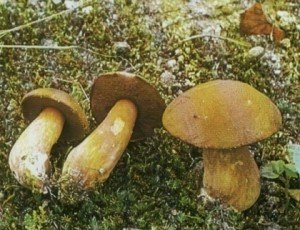 Моховик гриб желто-бурый