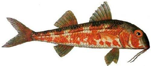 Рыба барабулька