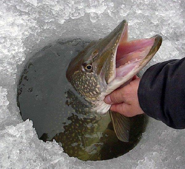 Рыбалка на щуку где и когда?