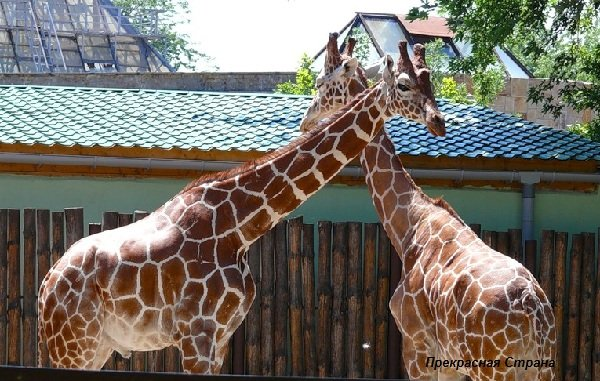 Жирафы описание фото видео