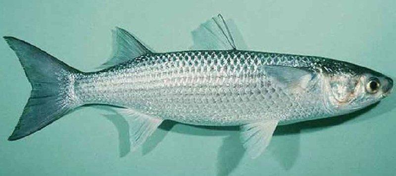 Рыбалка на кефаль в море