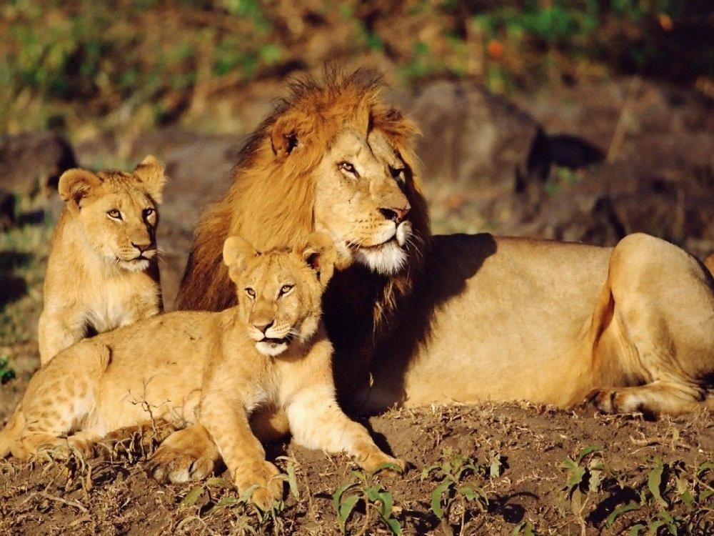 Лев африканский царь всех зверей