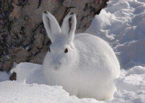 Охота на зайца способы хитрости тактика