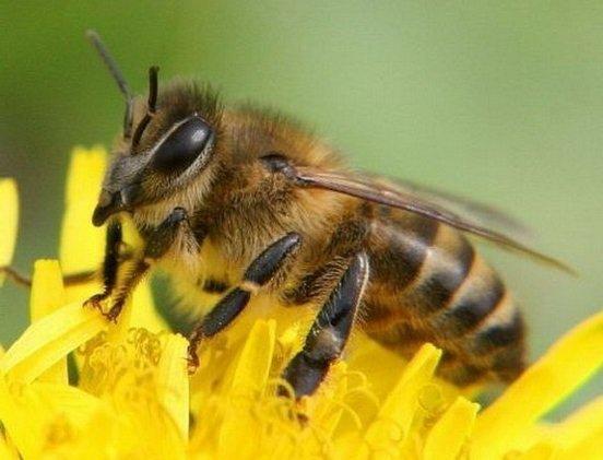 Почему пропадают пчелы