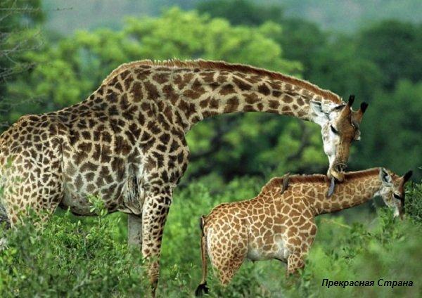 Жирафы – описание животных, фото и видео