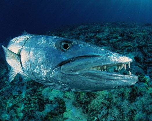 Хищные рыбы - барракуда