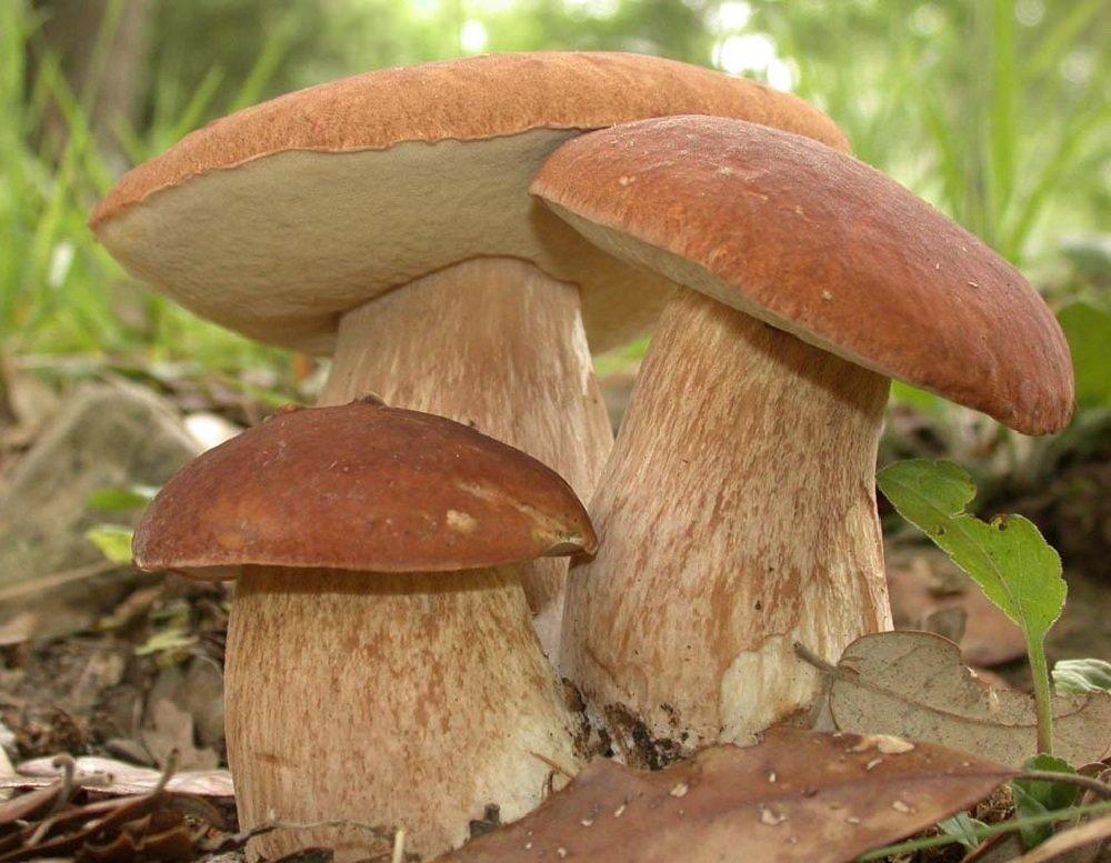 Как собирать и перерабатывать белые грибы