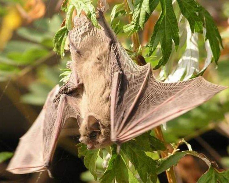 Летучие мыши – описание зверьков, фото и видео