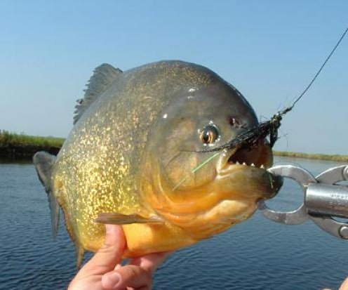 Хищные рыбы – описание видов, фото и видео