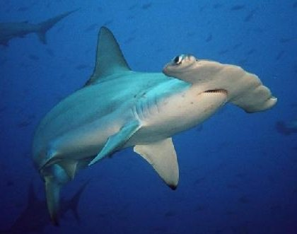 Хищные рыбы - акула-молот