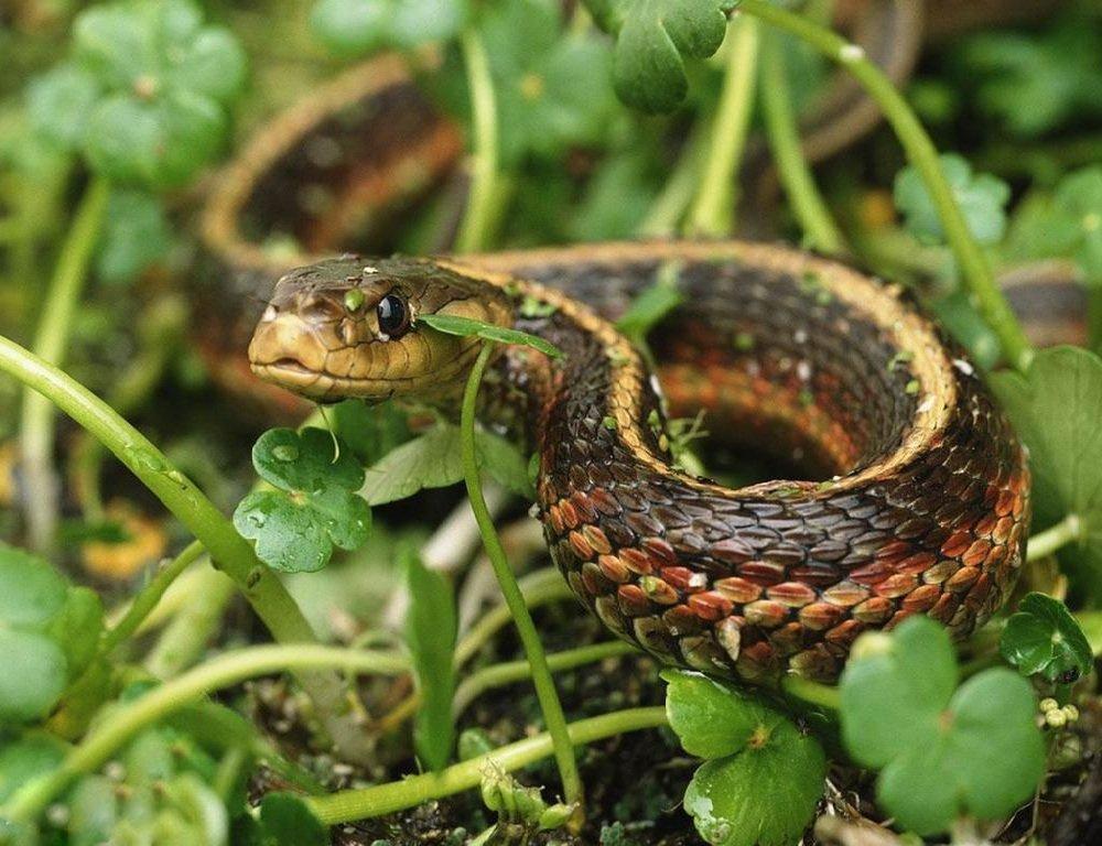 Змеи – питоны, удавы, гадюки, ужи