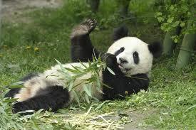 Панда большая – описание медведя, фото и видео