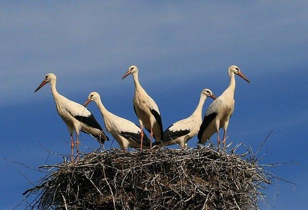 Аисты на гнезде