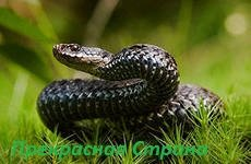 Гадюка обыкновенная — поверья и польза змеи