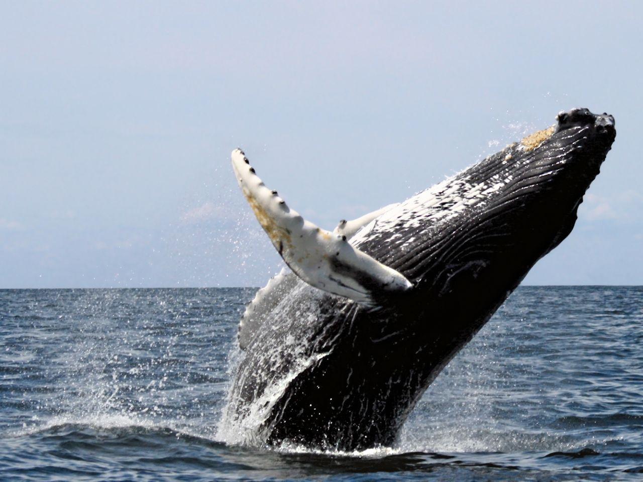Горбатый кит вернулся на Курильские острова!