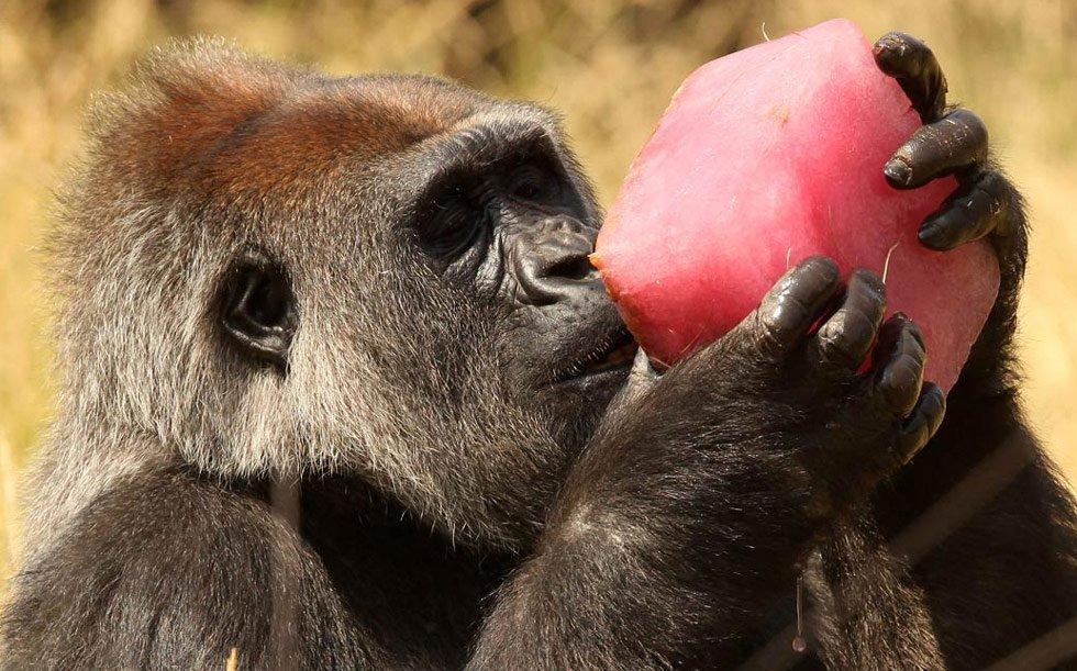 Горилла Эффи из Берлинского зоопарка - в руках у нее фруктовый лед