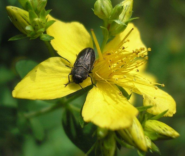 Меланофилы – удивительные жуки любители пожарищ
