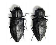 Меланофилы - удивительные жуки любители пожарищ