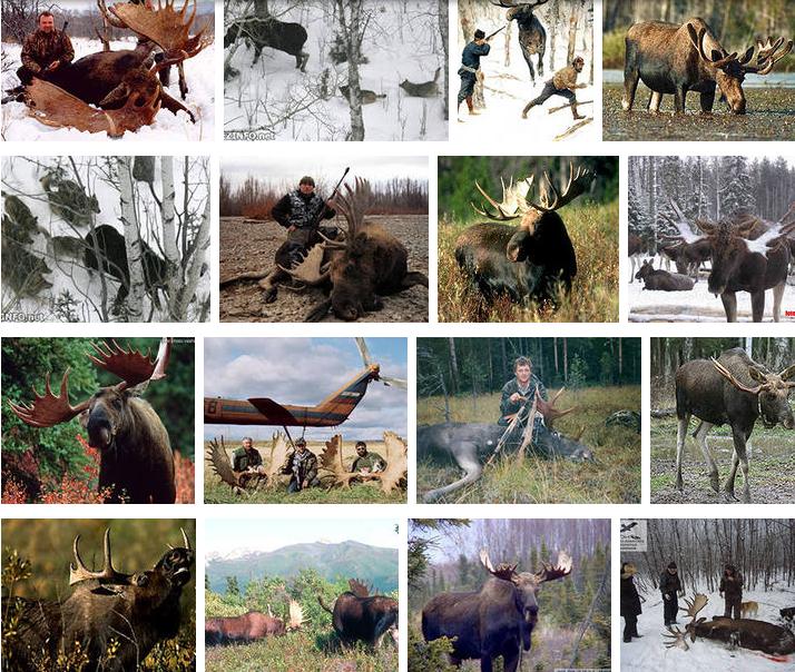 Лось на Украине охота.