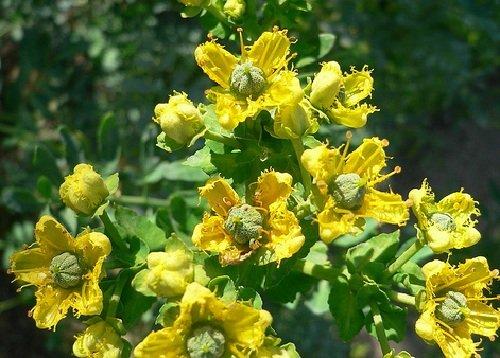 Рута пахучая целебные свойства и как выращивать