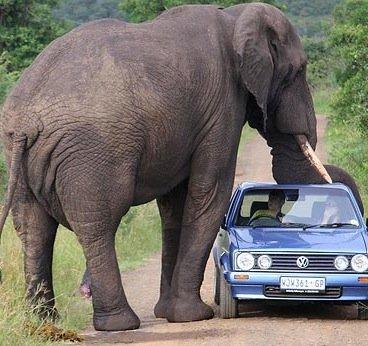 Слоны и их предки подробная информация и видео