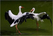 Аисты – описание птиц, фото и видео