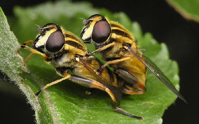 Самое маленькое насекомое на Земле.