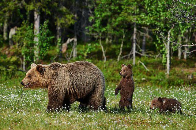 Бурые медведи в природе.