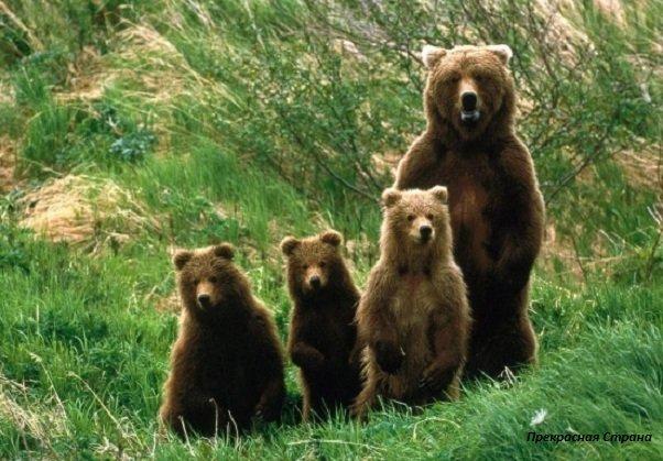 Бурые медведи очень редко принося тройню!