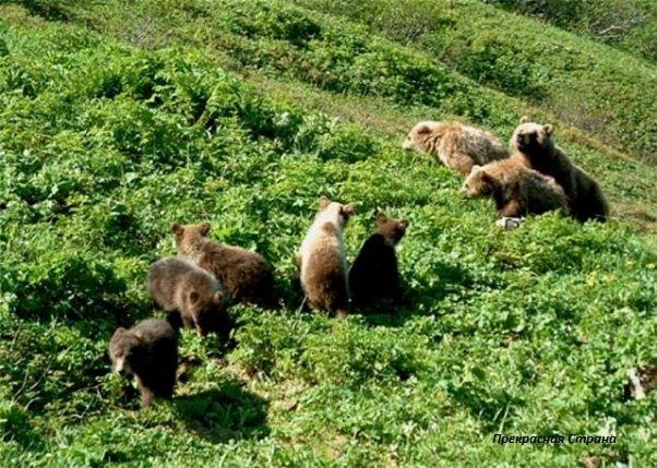 Бурые медведи на Кавказских горных лугах