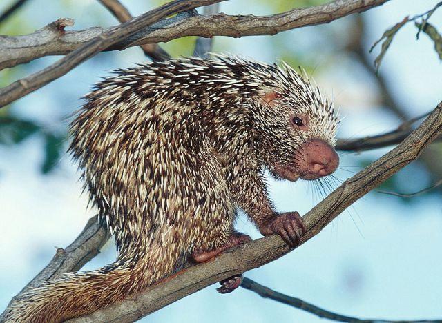 Древесные грызуны – разные белки и дикобразы.