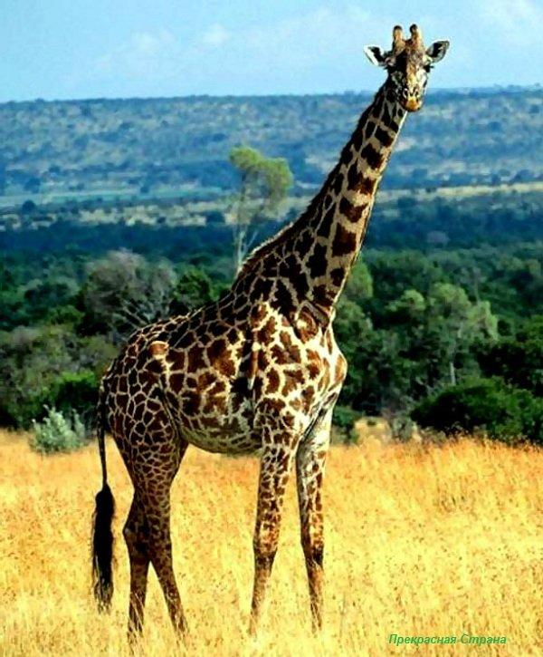 Семейство жирафовые — жирафы и окапи