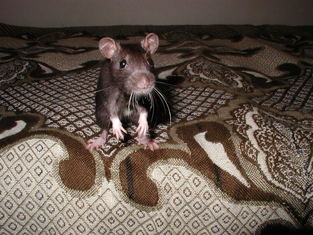 Крыса ручная домашняя — что она потребует от вас?