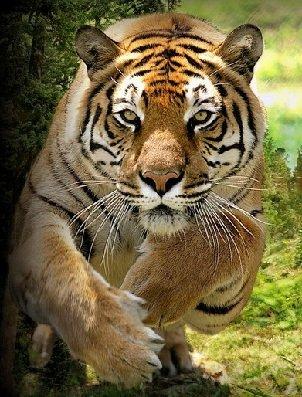 Бенгальский тигр – описание хищника, фото и видео