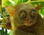 Приматы долгопяты – описание зверьков, фото и видео