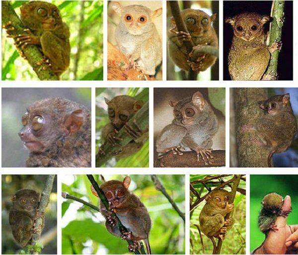Приматы долгопяты фото