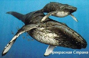 Киты и кашалоты - кит финвал