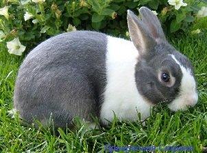 Голландский кролик – описание породы, фото и видео