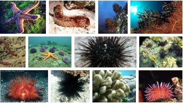 Иглокожие морские лилии коралловых рифов