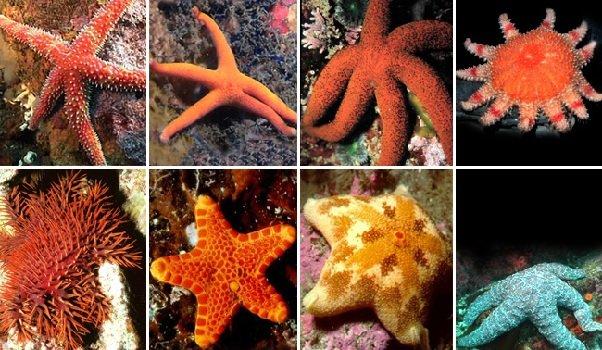Иглокожие морские лилии и звезды
