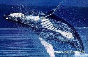 Киты и кашалоты - кит-полосатик