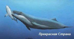Киты и кашалоты - австралийский кит