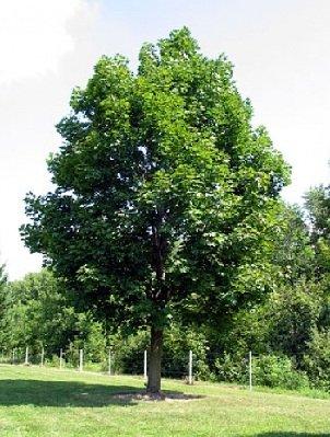 Клен — дерево с резными листьями