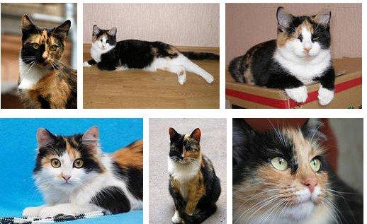 Трехшерстные кошки дома – к счастью