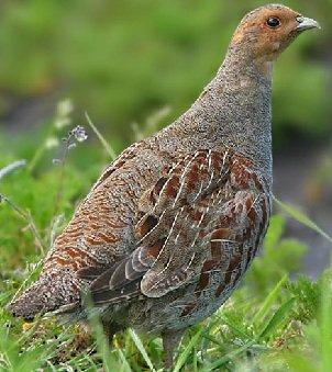 Родственники кур — фазаны, куропатки, тетерева